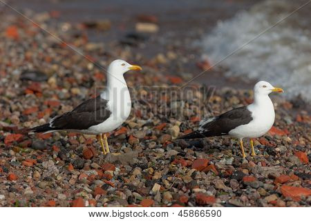 Portrait Of Seagulls