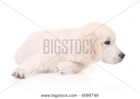 A golden retriever puppy isolated on white poster