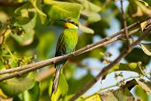 A Swallow-Tailed Bee-Eater perched in a Cashew Tree poster