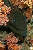 giant moray (gymnothorax javanicus)taken in the red sea. poster