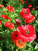 image of the beautiful red flower of red poppy poster