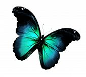 Grunge blue turquoise butterfly flying isolated on white poster