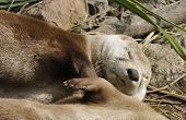 North American River Otter - Lontra canadensis poster