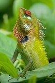 Green garden lizard (Calotes calotes) on bush in Srilanka. poster