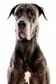 Grey Great Dane sitting over white background poster