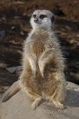A close up view of meercat standing on a rock. poster
