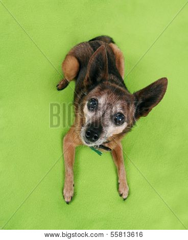 a chihuahua laying on a green blanket