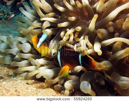 Anemonefish couple