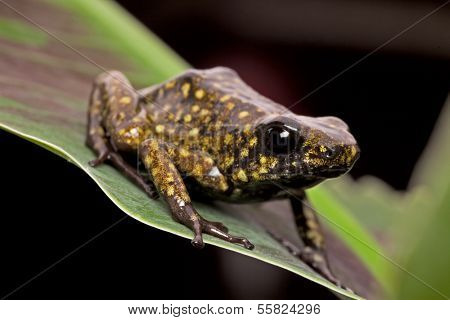 poison arrow frog from peruvian tropical Amazon rain forest beautiful exotic amphibian from Jungle in Peru poster