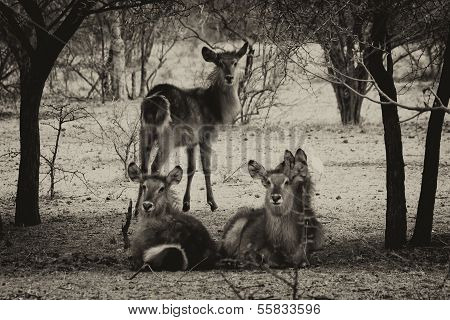 Sepia Toned Picture Of Herd Of Alert Waterbuck Listening