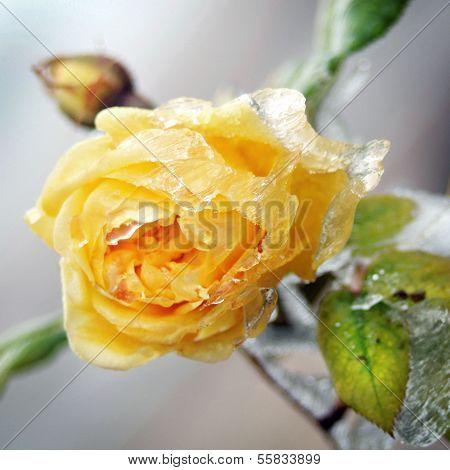 Gelbe Blume mit Eis