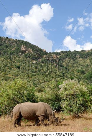 KENYA - AUGUST 10: An African black rhinoceros (Diceros bicornis minor) on the Masai Mara National Reserve safari in southwestern Kenya.