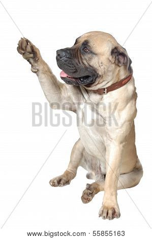 Dog Is  Large Breed. Photography Studio On White Background.