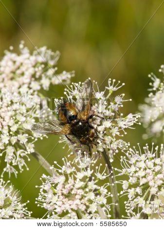 Tachena Fera Parasitic Fly