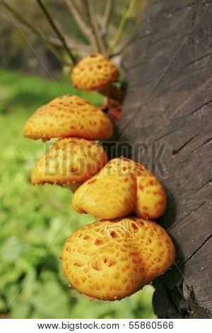 Pholiota Mushrooms