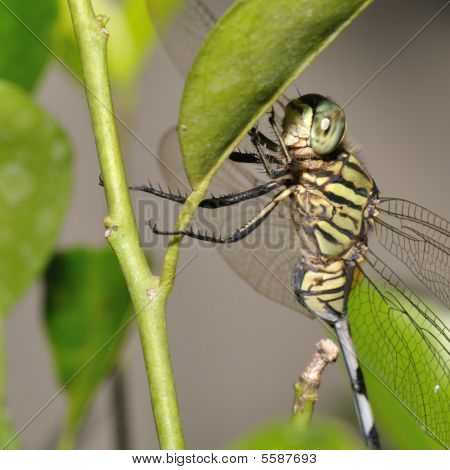 Macro Detailed Of Dragonfly On Leaf