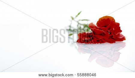 Red Flower (poppy) Before White Background (isolated)