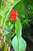 Canna generalis President flower in Florida USA poster