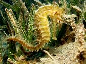 A golden thorny seahorse shies in seagrass poster