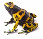 Yellow poison dart frog dendrobates leucomelas. Beautiful tropical rain forest animal from the Amazon rainforest in Venezuela. A poisonous amphibian with black dots. Macro isolated on white poster