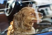 Portrait of australian shepherd dog locked in car poster