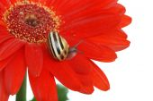 Isolated Snail on a red daisy with white background poster