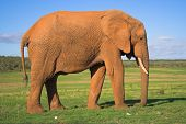 african elephant on the grass plains of africa poster