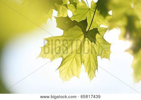 Maple, green leaf.