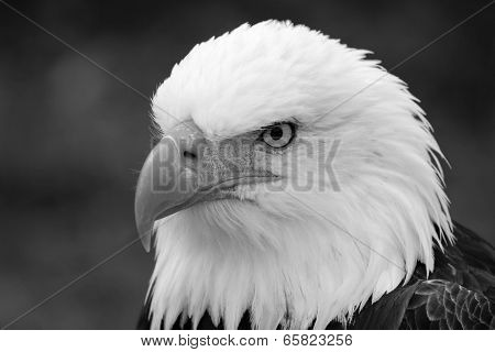 Head of an American Bald Eagle