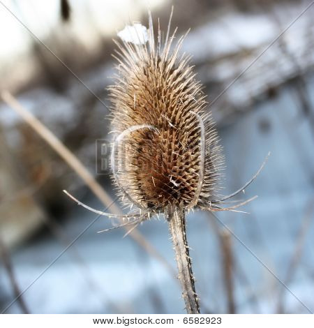 Winter Weed