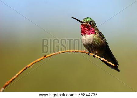 Hummingbird On Willow Perch