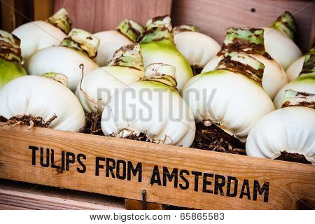 Tulip Bulbs in Amsterdam