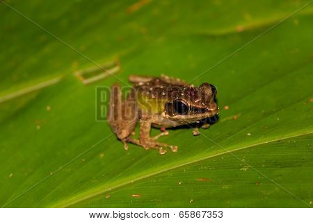 Small Frog On A Leaf In The Rainforest At Night