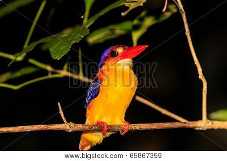 Kingfisher Resting On A Tree Branch At Night In The Rain Forest