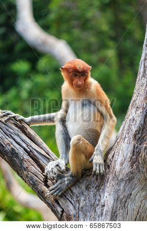 Proboscis Monkey Sitting In A Tree