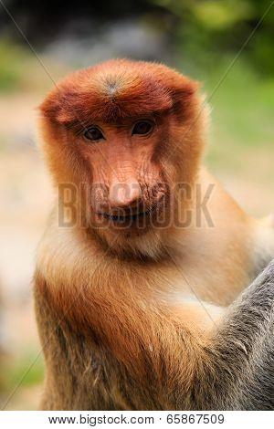 Proboscis Monkey Smiling For The Camera