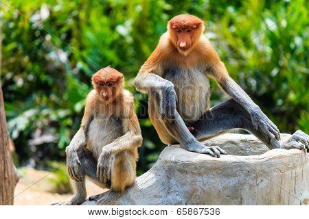Two Young Proboscis Monkeys In Borneo.