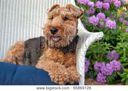 Welsh terrier laying in a white wicker chair in a rhododendron garden. poster
