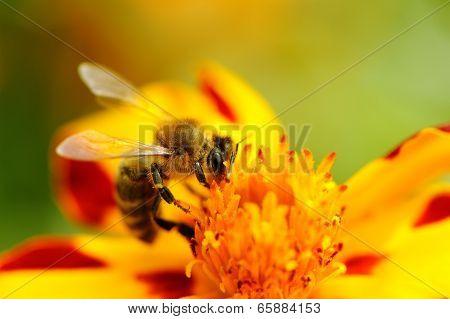 Bee Pollinating Marigold Flower