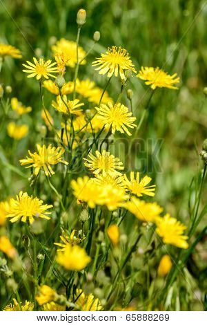 Yellow Hieracium Humile