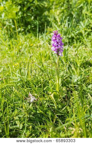 Pink flowering Western Marsh Orchid