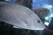 Beautiful Snapper saltwater fish with gray scales swimming poster