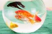 fishes in a round glass bowl red carps green background pets poster
