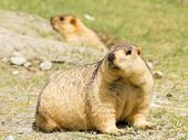 Couple of funny surprising marmots on the green grass (Ladakh India) poster