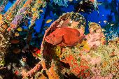 Coral Grouper on a coral encrusted underwater ship wreck poster