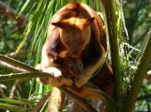 This tree kangaroo was in Queensland Australia it was sitting high in a tree poster