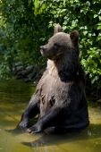 Funny bear sitting in  water and looking curiously poster