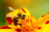 A bee pollinating a marigold (tagetes tenuifolia) flower poster