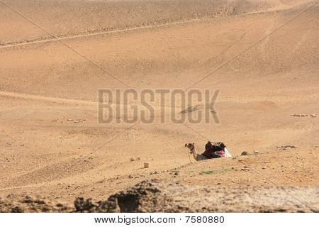 Camel resting on the egyptian desert from distance poster