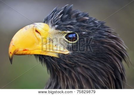 Closeup portrait of a Steller's sea-eagle (Haliaeetus pelagicus) after eating.